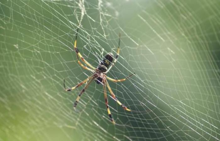 عناكب تكون سلكا من الحرير لدفع نفسها أسرع نحو الفرائس