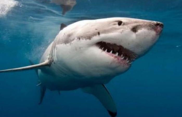 وفاة رجل في هجوم لسمكة قرش في أستراليا