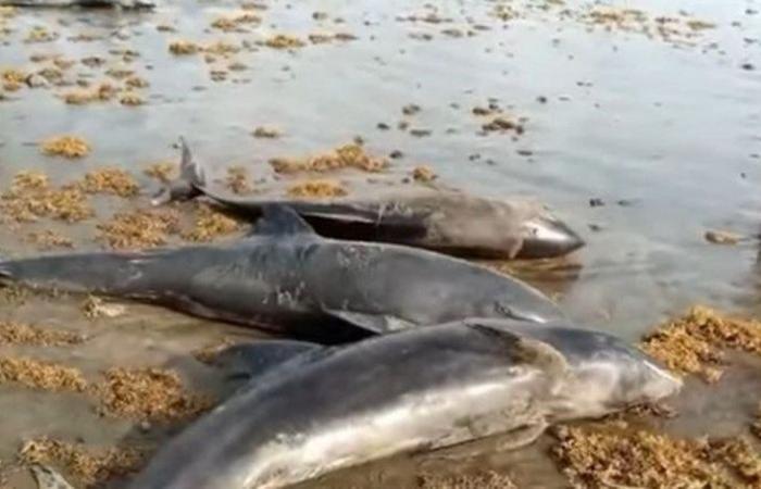 فيديو.. انجراف عشرات الدلافين النافقة على شواطئ غانا