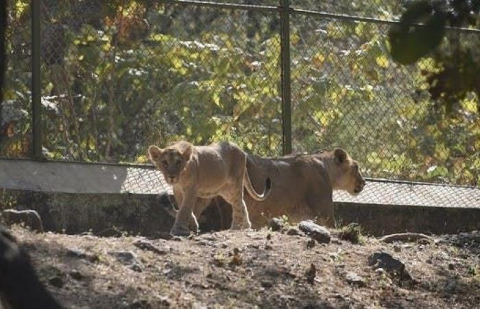 كورونا يتسلل للحيوانات في الهند.. إصابة 8 أسود في حديقة
