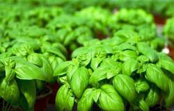 في الصيف.. 3 أعشاب سحرية يجب تناولها لزيادة مناعتك